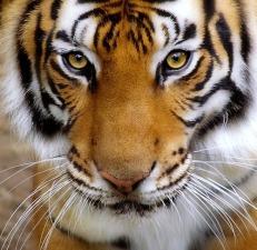 Tiger-Close-up-by-justinblackphotos-wildo