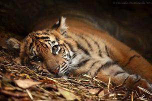 Tiger Cub - by Daniela Pintimalli