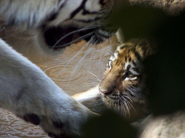 tiger-cub-face-082109_3645_990x742