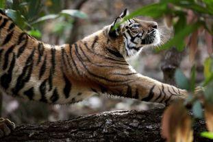 tiger-stretch-india_22673_990x742