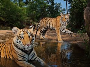 tigers-watering-hole-winter_India