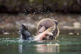 Tossing salmon