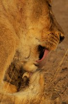 Tsalala-Lioness-claw