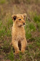 Tsalala-tailless-cub