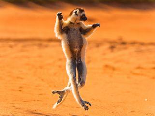 verreaux-sifaka-lemur-madagascar