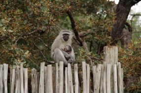Vervet monkeys, doing what they do best, hanging out in camp