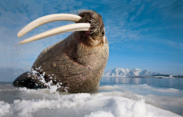 Walrus_Svalbard_Norway - Photograph by Paul Nicklen
