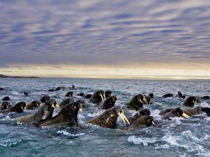 walruses-herd-svalbard_28115_990x742