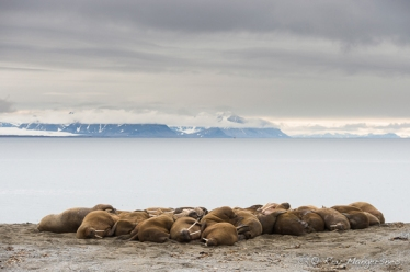 Walruses on the beach. Copyright © Roy Mangersnes.