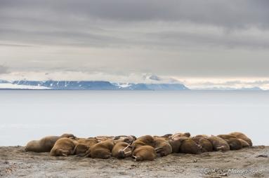 Walruses on the beach. Copyright © Roy Mangersnes.