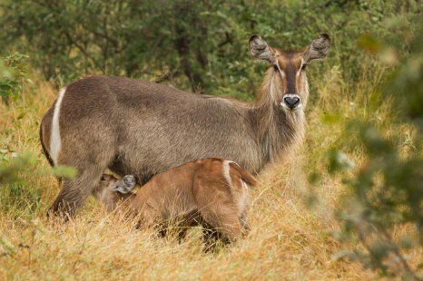 Waterbuck suckling - Londolozi
