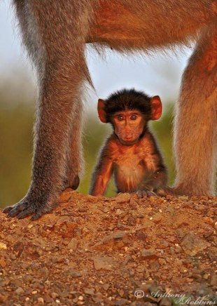 What a lovely moment captured by Anthony Robbins...a baby Chacma Baboon with its family.