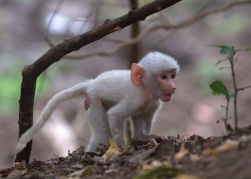 White baboon baby