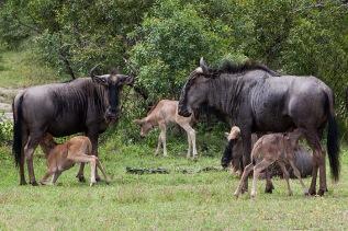 wildebeest-calves