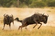 wildebeest chase