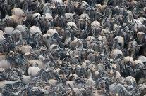 Wildebeest crossing Talek River - Isak Pretorius Wildlife Photography