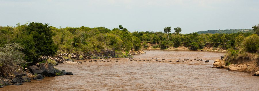 Wildebeest crossing the Mara River - Isak Pretorius Wildlife Photography