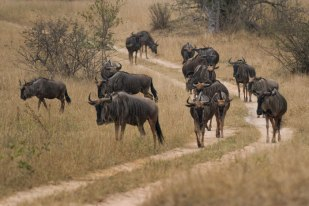 Wildebeest on the march on Tu-Tones Crest.