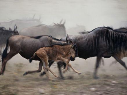 wildebeest-tanzania_36895_990x742