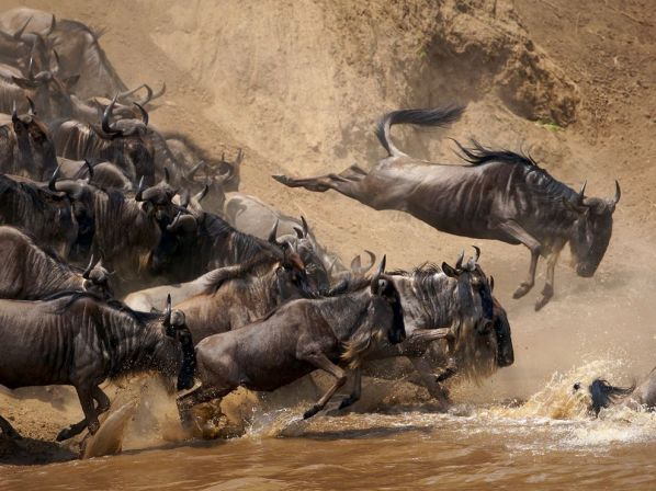 wildebeests-jumping-kenya_28400_990x742
