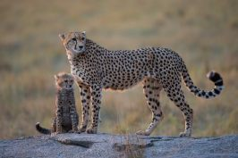 With cub at Maasai Mara - Isak Pretorius Wildlife Photography