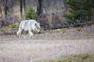 Wolf in Alberta