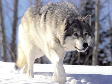 Wolf in the snow - Kelly Okavango