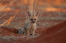 Young Cape fox