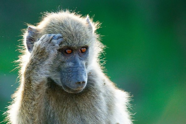 Young Chacma Baboon in the Kruger Park, photographed by Rudi Hulshof.