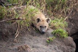 Young-hyena at Xidulu den - 20Sept12 Londolozi