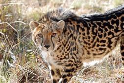 Young king cheetah