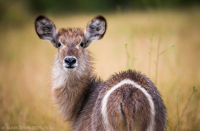 young Waterbuck, photographed on the S100 road near Satara.