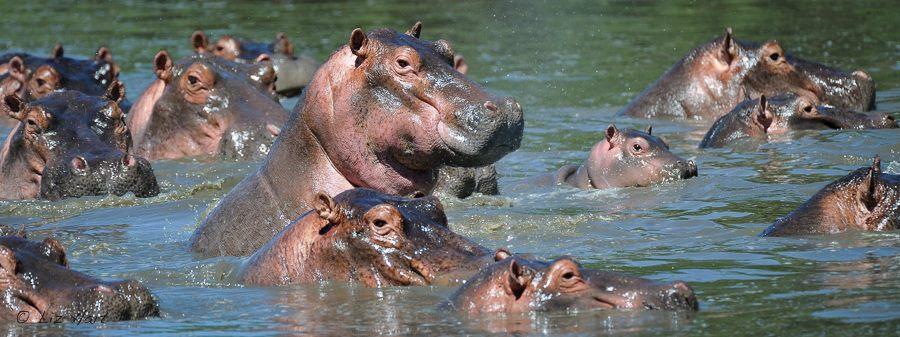 A heap o Hippos