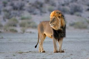 A majestic Kalahari king