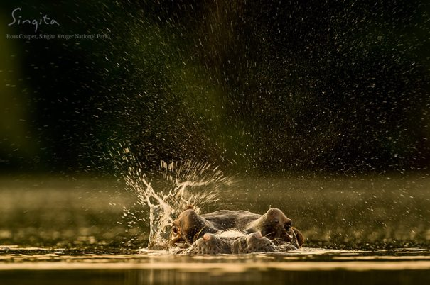 A small movement from a hippopotamus will ultimately result in a large spray of water, even if it was just his ear.