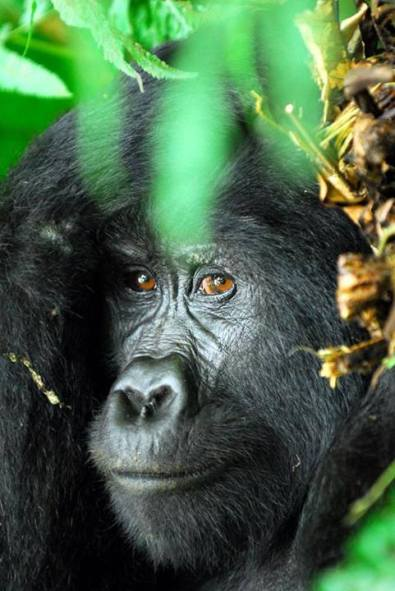 A Ugandan silverback with soulful eyes. Image by Nick Allsworth