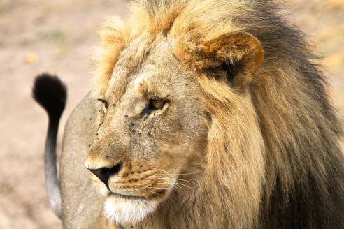 Adult male lion - Chobe NP, Botswana © Evan Schiller