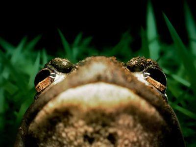 american-bullfrog-grass_8605_990x742