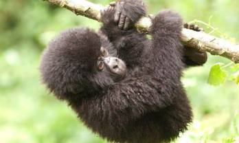 Baby Mountain Gorilla in Virunga National Park, DRC