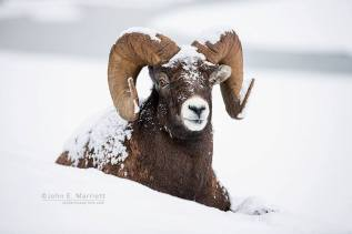 Bighorn in the snow