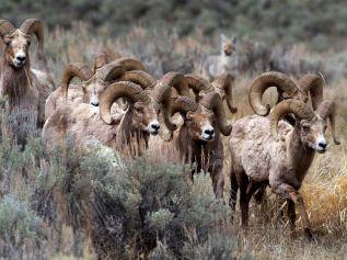 bighorn-sheep-yellowstone_28380_990x742