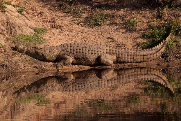 Croc-perfect-reflection