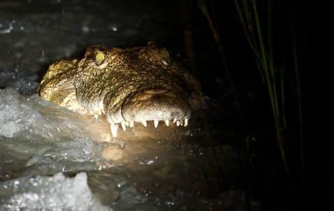 Crocodile fishing at the causeway - Londolozi Game Reserve