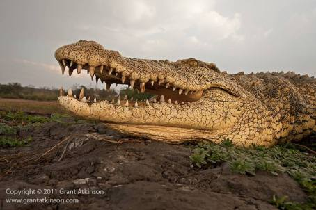 Crocodile in the Chobe - Grant Atkinson