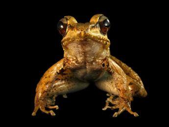 foja-mountain-frog-laman_22655_990x742