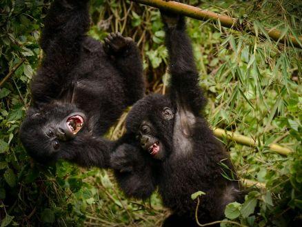 gorilla-pair-rwanda
