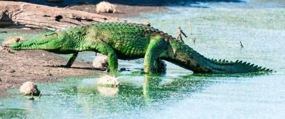 Green crocodile - Zimbabwe