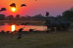 Guinea Fowl flying