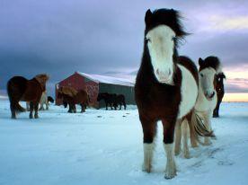 Icelandic horses-southern-iceland_46570_990x742