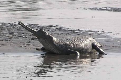 Indian Magar Crocodile